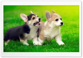 cute pembroke welsh corgi puppies running hd wide wallpaper for 4k uhd widescreen desktop smartphone