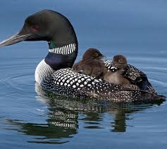 Image result for Loon and brood