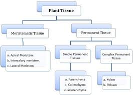 Tissue Chart Answer Key Anatomy Of Flowering Plants Class 11 Notes Biology