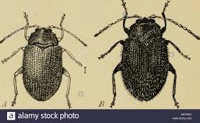 Corn Flea Beetle Elementary Entomology Fig 224 A Potato Flea Beetle