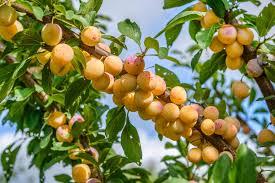 Bare Root Trees  Fruit U0026 Nut Trees  Fruit Trees  Nut Trees Fruit Salad Trees Usa