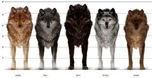 Wolf Body Language Chart Shape Shifter Twilight Saga Wiki Fandom