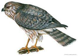 Harrier | bird | Britannica