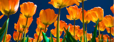 spring springtime tulips