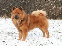brown dog breed selector