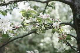How To Assess Frost Freeze Damage To Apple Trees Home
