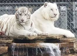 white tiger. Brilliant Tiger Atigers Illegally Housed White Tigers Rescued Given Clean Bill Of Health And Tiger R