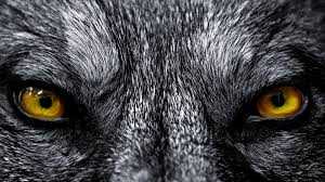 werewolf wallpaper 1920x1080. Interesting 1920x1080 Beautiful Wolf Wallpaper Wallpaper 1920x1080 And Werewolf U
