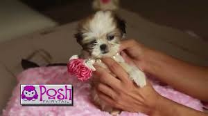 teacup puppies houston texas call 804 836 4628 we deliver to texas area you