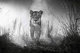 Lioness 4000×2662 Female Lion 4k ...