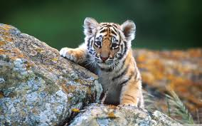tiger cub hd desktop wallpaper high definition fullscreen mobile