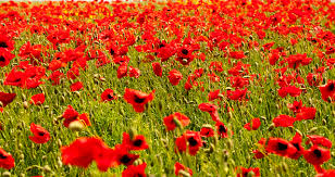 poppy noun definition and synonyms