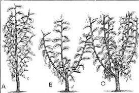 On Gardening Ancient Technique Flattens Fruit TreesFruit Tree Shapes