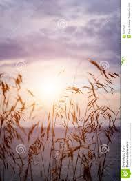 tall grass field sunset. Tall Grass At Sunset Field