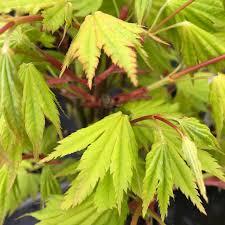 6 acer shir jordan fullmoon maple