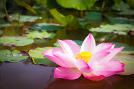 Pink Lotus Size Chart Beautiful Pink Lotus Flower In Nature For Background Photo