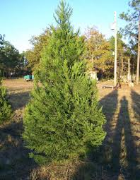 Tree Time Christmas Tree 101 How To Find And Keep The Right TreeTypes Of Fir Christmas Trees