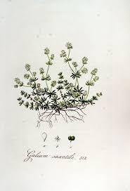 File:Galium saxatile — Flora Batava — Volume v7.jpg - Wikimedia ...