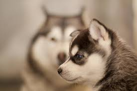 baby husky puppies tumblr. Contemporary Husky Filhotes De Husky Siberiano  Siberian Puppies 34  By  NelsonBr2010 Throughout Baby Puppies Tumblr