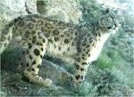 essay on leopard animal