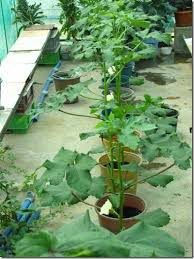 Growing Okra A K A Ladies Finger In Container