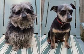 dogs before and after their haircuts