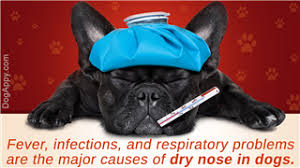 dry nose symptoms in dogs