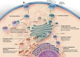 Endoplasmic Reticulum What Is Endoplasmic Reticulum Er And What Is Its Role