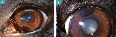 b uveal melanocytic tumor in the dorsal iris of a dog note that both are darkly pigmented but the cyst was freely movable during examination and easily