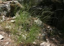 Stipa bromoides (L.) Doerfl.   Flora of Israel Online