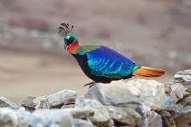 National bird of Nepal – Danphe | ANIL BLON NEPAL