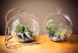 two tillandsia air plant glass globe terrariums table rope
