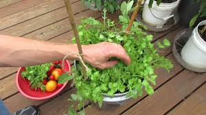 Kitchen Garden In Pots Harvesting Growing Cilantro In 5 Gallon Containers My 1st