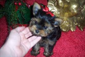 teacup yorkie puppies for free adoption kansas city ks asnclifieds