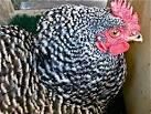 setting hen