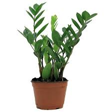 office cubicle plants. ZZ Plant In 6 In. Grower Pot From Home Depot; $17.20 Office Cubicle Plants I
