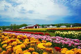 tulip and farm landscape n j
