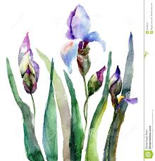 29 awesome iris flower watercolor images