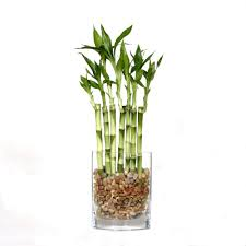 Fence Bamboo in Square Glass Container-DT-7007L7B - The Home Depot