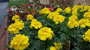 bedding plants southport preston lancashire 3 previousnext