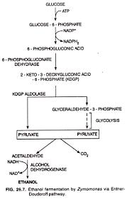 alcohol fermentation. ethanol fermentation by zymomonas via entner-doudoroff pathway alcohol