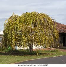 Weeping Mulberry Tree  Google Search  Gardens  Pinterest Teas Weeping Fruiting Mulberry Tree