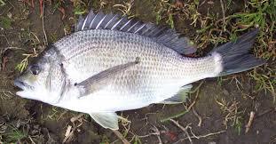 Porgy Fishing Wikipedia