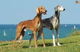saluki dog. saluki dogs dog l