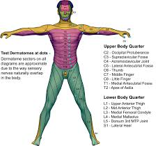 Anterior Dermatome Map Calculate By Qxmd