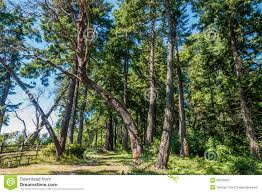 Dash Point Wa Tide Chart Curving Tree Stock Photo Image Of Nature Forest