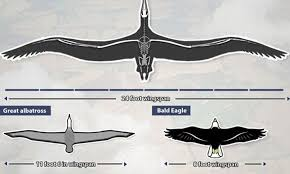 Condor With 24 Foot Wingspan Soared Across The Skies 28m