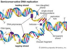 Dna Replication Definition Replication Genetics Britannica Com