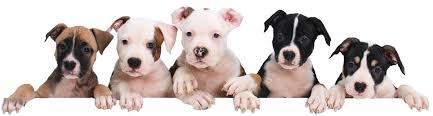petland joplin cute puppies