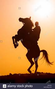 black horse rearing in sunset. Delighful Horse Barb Horse Rider Stallion Rearing The Desert Silhouetted Against  Evening Sky Egypt  Stock Image Throughout Black Rearing In Sunset R